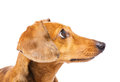 Dachshund Dog Looking At A Side Stock Photography - 34336402