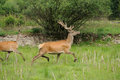 Wild Deer Stock Images - 34338954