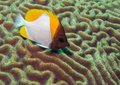 Pyramid Butterflyfish On Brain Coral Royalty Free Stock Photos - 34348798