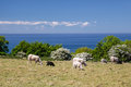 Flock Of Sheep By The Sea Near On Bornholm Royalty Free Stock Image - 34367886