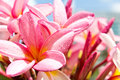 Branch Of Tropical Flowers Frangipani Royalty Free Stock Image - 34380346