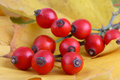 Bunch Of Rose Hips Stock Photo - 3448290