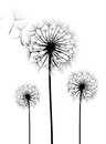 Dandelion Flower Stock Images - 34443764