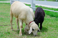 Sheep Stock Images - 34450124