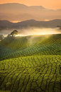 Tea Plantation Sunrise Early Morning With Fog At Cameron Highlan Royalty Free Stock Images - 34453929
