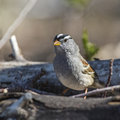 White-crowned Sparrow Zonotrichia Leucophrys Royalty Free Stock Photos - 34461848