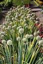 Onion Flowers Royalty Free Stock Image - 34473406