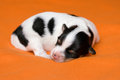 A Cute Sleeping One Week Old Tricolor Havanese Puppy Dog Stock Photography - 34475462
