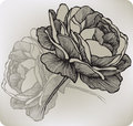 Blooming Rose, Hand-drawing. Vector Illustration. Stock Photography - 34479012
