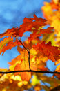 Fall Oak Leaves Stock Images - 3454354