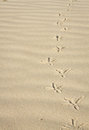Footprints In The Sand Of A Bird Royalty Free Stock Photography - 34507247