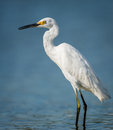 Little Egret Wading In Jamaica Bay Royalty Free Stock Photography - 34509967