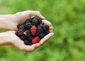 Blackberry In Hand Royalty Free Stock Image - 34525456