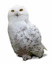 Snowy Owl  Over White Stock Images - 34536314