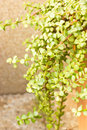 Portulacaria Afra - Elephant Bush. Royalty Free Stock Photography - 34546897