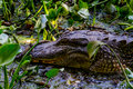 A Wild Alligator (Alligator Mississippiensis) Lurking In The Tangled Vines Of The Swamps Of Brazos Bend Stock Photography - 34549852