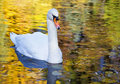 White Swan In The Morning Royalty Free Stock Image - 34600356