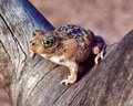 Couch S Spade Foot Toad Stock Photography - 34634642
