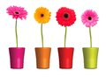 Gerbera Flower Isolated On White Background Royalty Free Stock Photography - 34636447