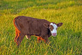 Cow Calf In Field Stock Photo - 34641570