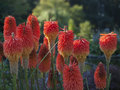 African Red Hot Pokers Stock Image - 34654961