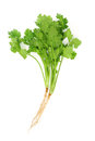 Cilantro Royalty Free Stock Photo - 34655255