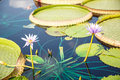 Two Lillies And Lilly Pads Royalty Free Stock Image - 34660006