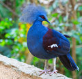 Victoria Crowned Pigeon Or Goura Victoria Royalty Free Stock Photography - 34729427