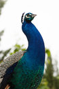 Peacock Portrait Royalty Free Stock Images - 34747859