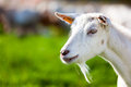 Goat Stock Images - 34749904