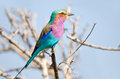 Lilac-breasted Roller, Kruger National Park, South Royalty Free Stock Photos - 34757248