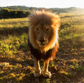 Old Male Lion In The Grass In Southern Africa Royalty Free Stock Photo - 34760035