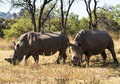 Two Large Rhinos Grazing The Grass In Zimbabwe Royalty Free Stock Photos - 34761088
