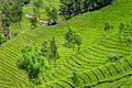 Tea Plantation Stock Photography - 34787772