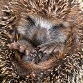 Hedgehog Baby Close Up Stock Images - 34788514