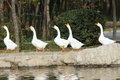 Geese Royalty Free Stock Images - 34793929