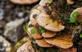 Mushroom (Trametes Versicolor) On A Rotting Fallen Tree For Cure Stock Images - 34796764