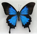A Beautiful Blue Butterfly Royalty Free Stock Photo - 3480045