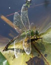 Southern Hawker Dragonfly Royalty Free Stock Images - 3487089