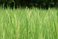 Paddy Rice Royalty Free Stock Photography - 34811897