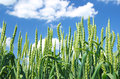 Green Wheat Field Royalty Free Stock Photo - 34812315