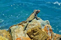 Lizard On The Rock Royalty Free Stock Photo - 34812675