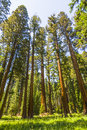 Tall And Big Sequoias Royalty Free Stock Photos - 34813198