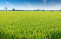 Rice Field Royalty Free Stock Photos - 34824298