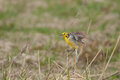 Citrine Wagtail Royalty Free Stock Images - 34845219
