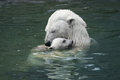Mother&x27;s Love. Polar Bear With Cub Royalty Free Stock Photo - 34848195