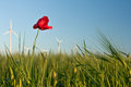 Red Poppy Flower In Field Of Crop With Wind Turbines Stock Photos - 34861093