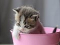 1 Baby Cat Kitty In Metal Pail Royalty Free Stock Image - 34873646