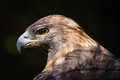 Golden Eagle (aquila Chrysaetos) Stock Photography - 34888042