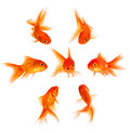 Concept With Goldfish Royalty Free Stock Photography - 34899287